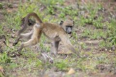 Forragem do babuíno para o alimento na luz do sol do amanhecer Fotos de Stock