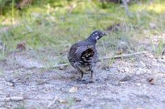 Forragem fêmea das pausas do galo silvestre Spruce Imagem de Stock Royalty Free