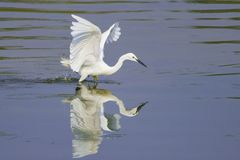 A forragem na lagoa Fotos de Stock Royalty Free