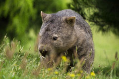 Forraging Wombat Stockbilder