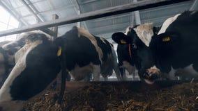 Forraje con el forraje y las vacas que comen de él almacen de metraje de vídeo