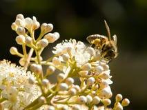 Forraje de la abeja Imagen de archivo libre de regalías