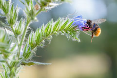 Forraje de la abeja Imagenes de archivo
