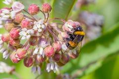 Forraje de la abeja Fotografía de archivo