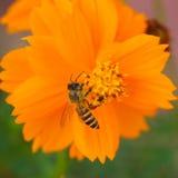 Forraje de la abeja Foto de archivo