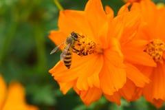 Forraje de la abeja Fotos de archivo
