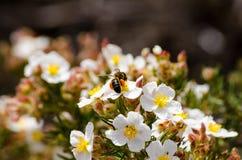Forraje de la flor y de la abeja de la primavera Foto de archivo libre de regalías