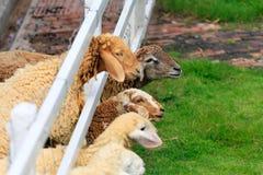 Forraje de las ovejas en pasto soleado del verano Foto de archivo libre de regalías