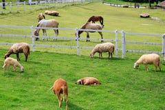 Forraje de las ovejas en pasto soleado del verano Fotos de archivo