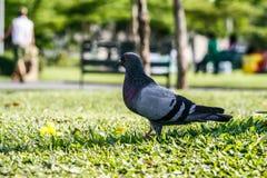 Forraje de las palomas en parques fotos de archivo