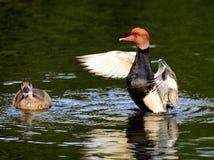 Forraje de los patos Imagen de archivo libre de regalías