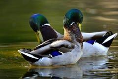 Forraje de los patos Fotos de archivo libres de regalías