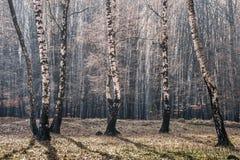 forrest的桦树 免版税图库摄影