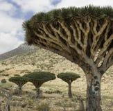 forrest龙血的树,龙血树属植物cinnabari,索科特拉岛龙血树,威胁了种类 免版税图库摄影