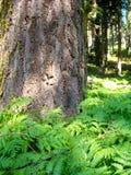 Forrest с сочным папоротником стоковое фото rf