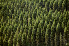 Forrest. Teleview of of green forrest fir trees on a mountain side stock photography