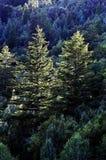 Forrest av sörjer träd Arkivfoton