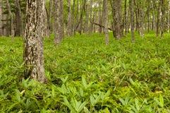 Forrest avec de jeunes usines en bambou Image stock
