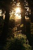 Forrest avec des lucioles pendant le coucher du soleil avec des arbres et des rayons légers Photographie stock