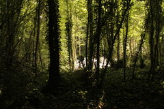 Forrest-Baumschatten Stockfotos