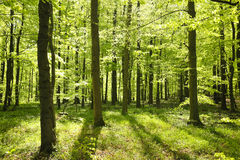 Forrest. Beautiful forrest in the morning sun in spring stock photo