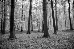 Forrest. Black and white forrest landscape stock photo
