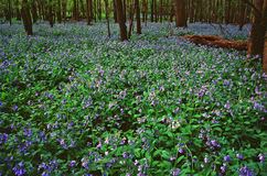 Forrest Bluebells Royalty Free Stock Photo