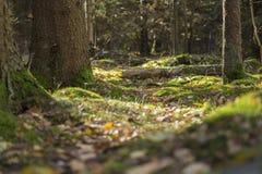 Forrest-Boden mit Moos und Blättern Stockfoto