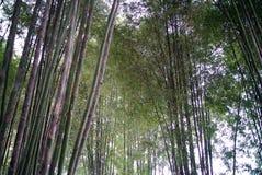 Forrest de bambú fotografía de archivo libre de regalías