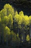 Forrest de los árboles de abedul Fotos de archivo libres de regalías