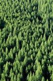 Forrest de los árboles de pino Fotos de archivo libres de regalías
