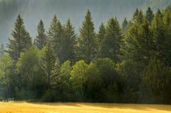 Forrest de los árboles de pino en lluvia Foto de archivo libre de regalías