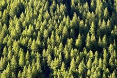 Forrest de los árboles de pino Imagen de archivo libre de regalías
