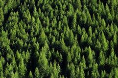 Forrest de árvores de pinho Fotografia de Stock Royalty Free