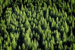 Forrest de árvores de pinho Imagem de Stock