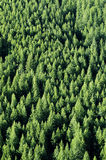Forrest degli alberi di pino Fotografie Stock Libere da Diritti