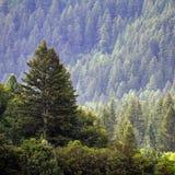 Forrest degli alberi di pino Immagine Stock Libera da Diritti