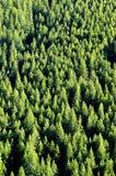 Forrest des arbres de pin Images libres de droits