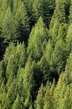 Forrest des arbres de pin Image libre de droits