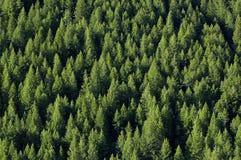 Forrest des arbres de pin Photographie stock libre de droits