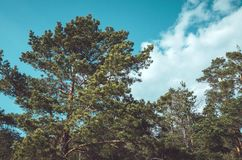 Forrest of green pine trees with blue sky. Nature background, outside. Season spring, summer, autumn. Concept ecology. Royalty Free Stock Photos