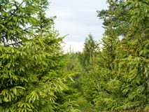 Forrest of green pine trees. On mountainside Stock Photos