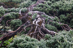 Forrest of green pine trees. On mountainside Royalty Free Stock Photos