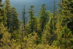 Forrest of pine trees on mountainside with rain stock photo