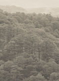 Forrest of green pine trees. On mountainside with rain in Dalat, Vietnam Royalty Free Stock Images
