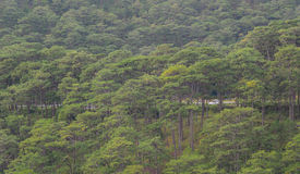Forrest of green pine trees. On mountainside with rain in Dalat, Vietnam Stock Photography