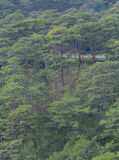 Forrest of green pine trees. On mountainside with rain in Dalat, Vietnam Royalty Free Stock Photo