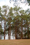 Forrest of green pine trees Royalty Free Stock Photo