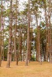 Forrest of green pine trees Stock Image