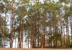 Forrest of green pine trees Royalty Free Stock Photos
